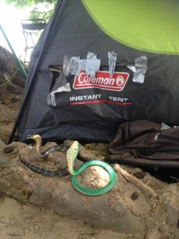 Venomous snakes on guard outside the tent's new entrance